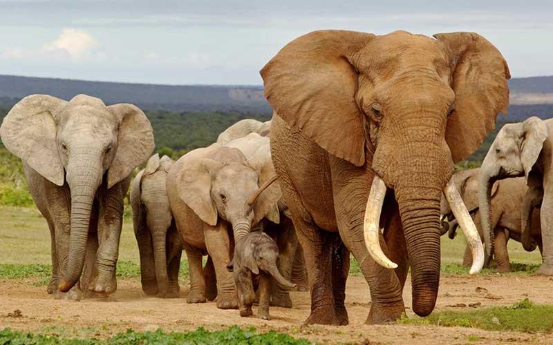 Africanelephants-