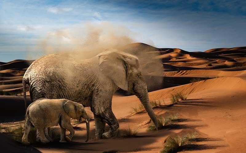 ช้างสัตว์แอฟริกาแห่งป่าใหญ่
