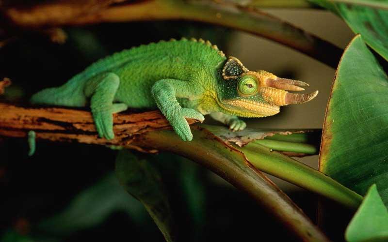 Jacksons Chameleon หนึ่งในกิ้งก่าที่มีเอกลักษณ์สวยงาม