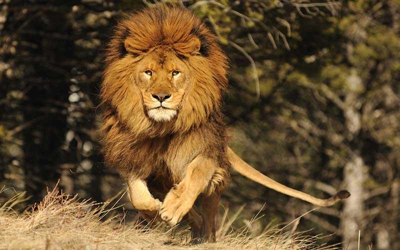ราชสีห์แห่งแอฟริกา