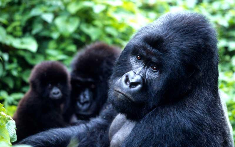 gorilla-