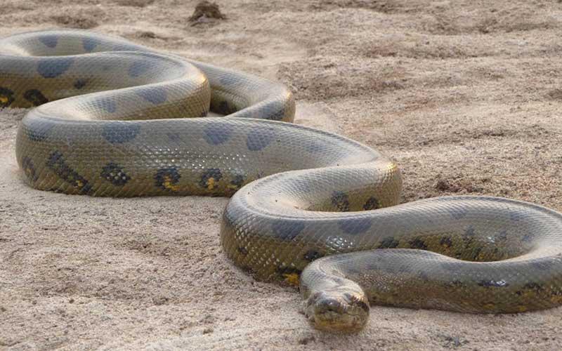 งูหลามแอฟริกาที่มีขนาดใหญ่ที่สุดในทวีป