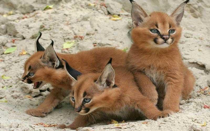แมวป่าคาราคัลแมวที่มีความโดดเด่นในแอฟริกา