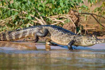 The-smallest-crocodile