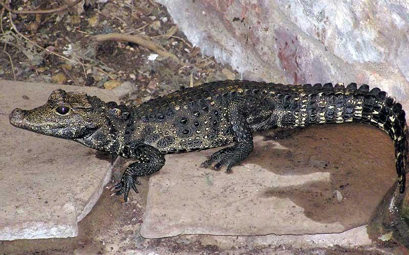 smallest-crocodile