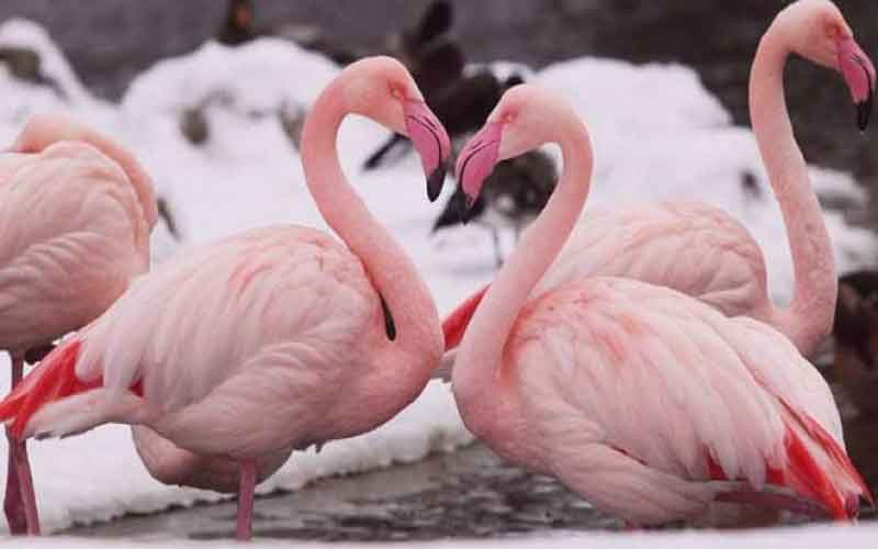 news-Flamingo-bird-site