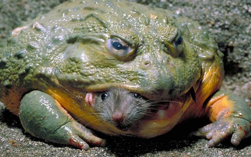 African Bullfrog กบยักษ์แห่งทุ่งหญ้าแอฟริกา