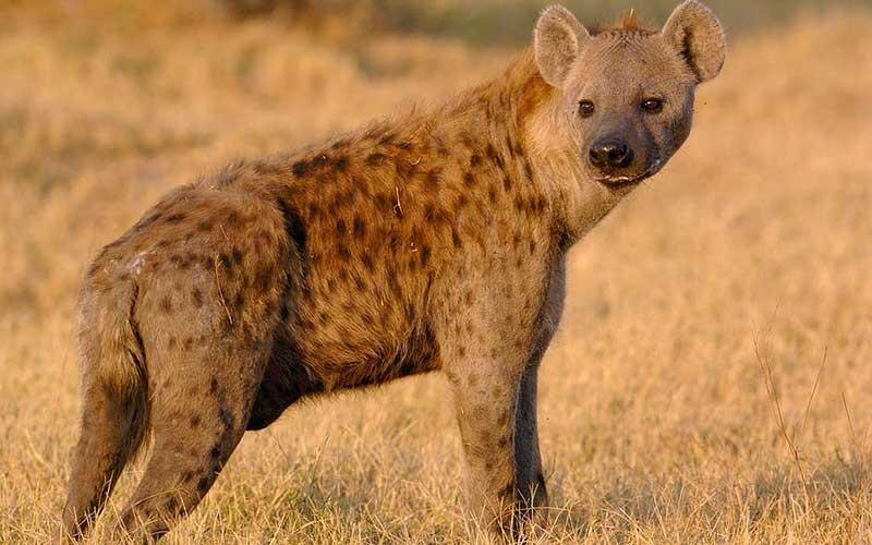 Hyenas-