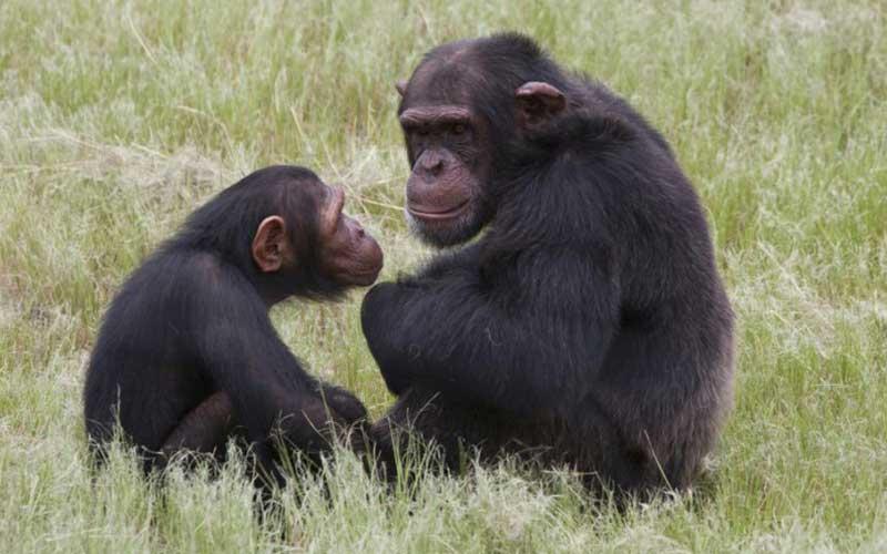 ลิงชิมแปนซีแอฟริกาเป็นสัตว์ที่ฉลาดมากที่สุด