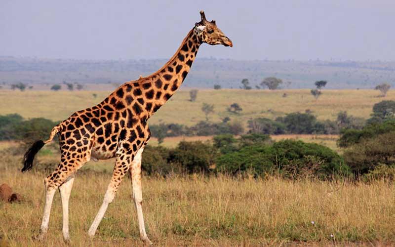ยีราฟสัตว์ที่มีถิ่นกำเนิดทวีปแอฟริกามีความสูงมากกว่าสัตว์ชนิดอื่นๆ
