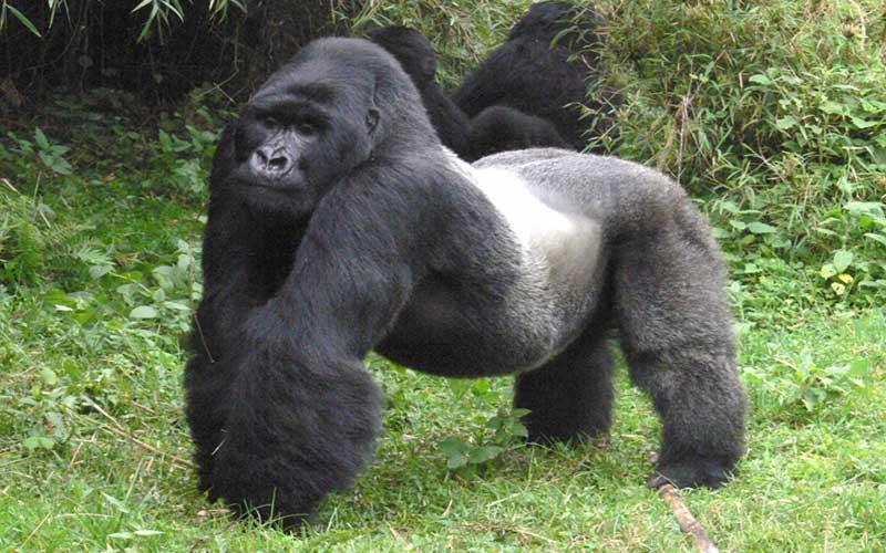ลิงกอริลลาแอฟริกาเป็นสัตว์ที่มีความแข็งแกร่งมาก
