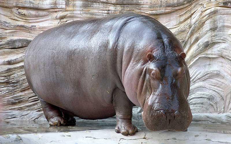ฮิปโปโปเตมัสสัตว์ใหญ่แห่งแอฟริกา