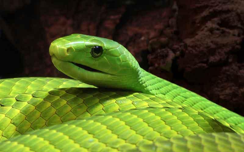 งู Green Mamba ประวัติที่ควรรู้