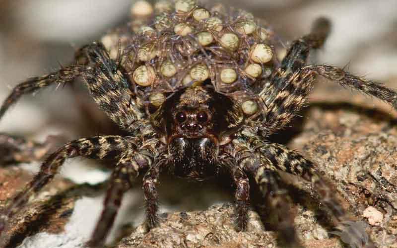แมงมุมแม่ม่ายน้ำตาล ประวัติสายพันธุ์อันตราย