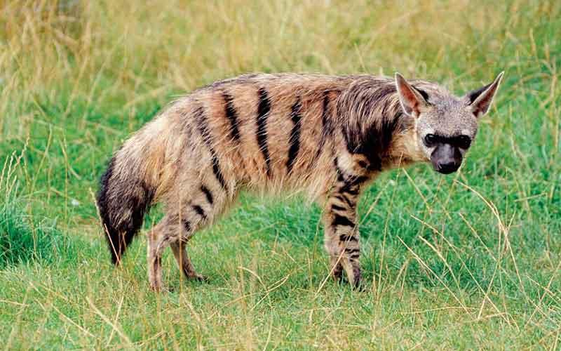 อาร์ดวูล์ฟ สัตว์โลกน่ารักจากทวีปแอฟริกา